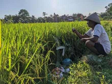 Wiwitan Sawah Pelungguh di Bulak Tegal Onggobayan